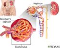 Glomerulus and nephron