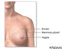 Normal female breast anatomy
