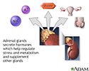 Adrenal gland hormone secretion