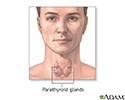 Parathyroid glands