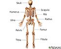 Skeleton (posterior view)